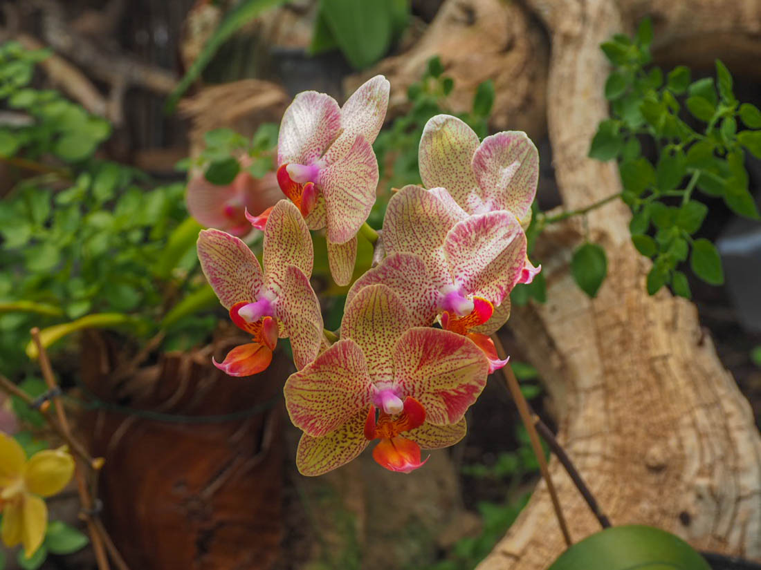 sitio-litre-13 Sitio Litre - The Orchid Garden of Tenerife