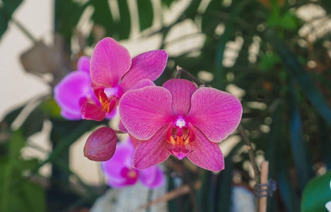 sitio-litre-8 Sitio Litre - The Orchid Garden of Tenerife