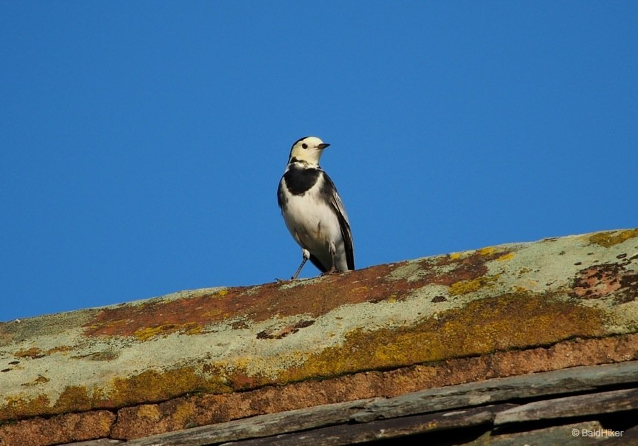 The Wagtails of the roof