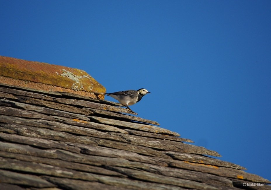 wagtail 3 pied wagtails The Wagtails of the roof