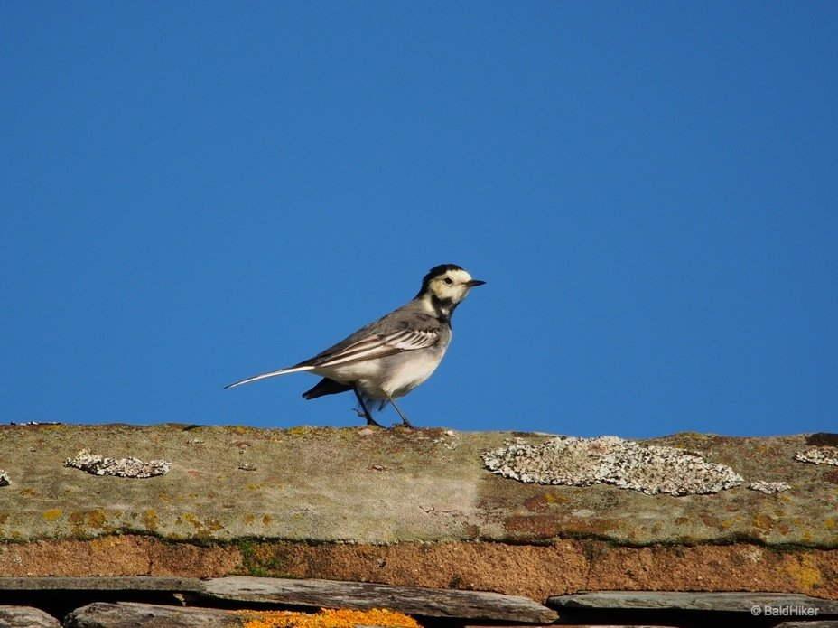wagtail 7 pied wagtails The Wagtails of the roof