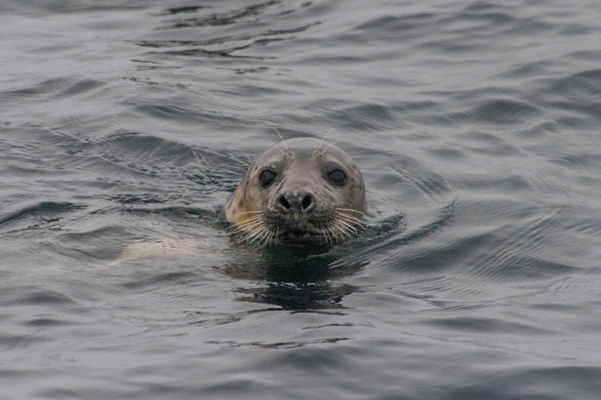 grey seal in water