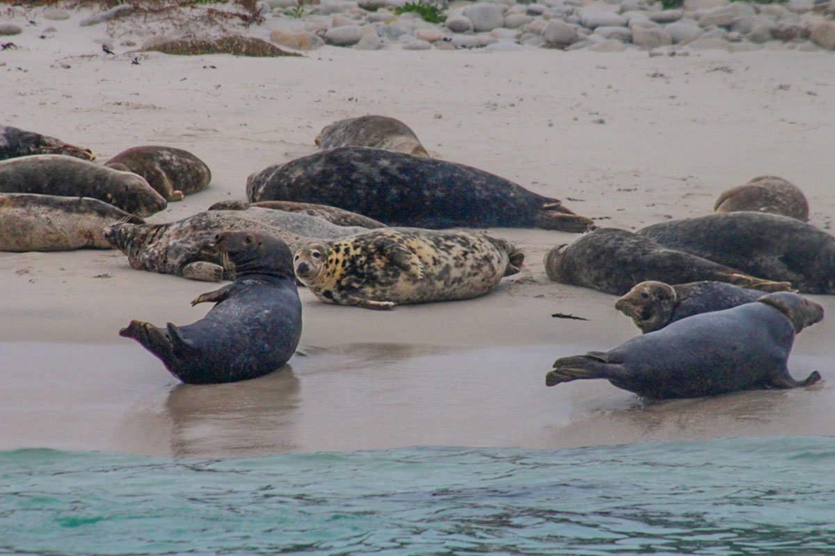 grey seals on scilly