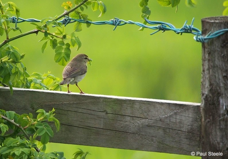 The Willow Warbler with its lunch