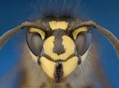 The Beloved Wasp