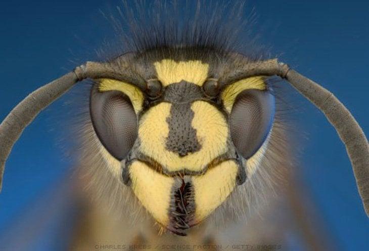 wasp close up of face