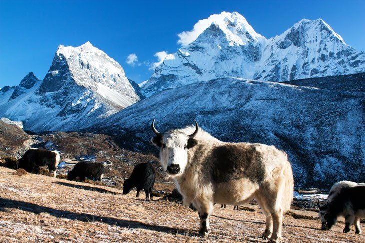 yak Animals Living The High Life in Altitude